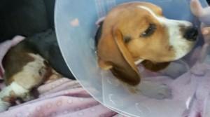 Чейз на осмотре в ветеринарной клинике