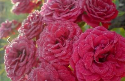 Один из сортов роз