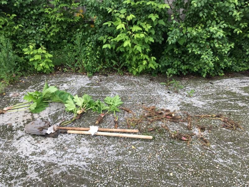 Добровольцы очистили территорию от борщевика