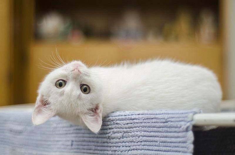 кошка, котенок, пиксибей, 0203